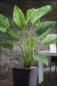 Zimmerpflanze Große Blätter : wir bieten ihnen eine gro e auswahl an k nstlichen ~ Lizthompson.info Haus und Dekorationen