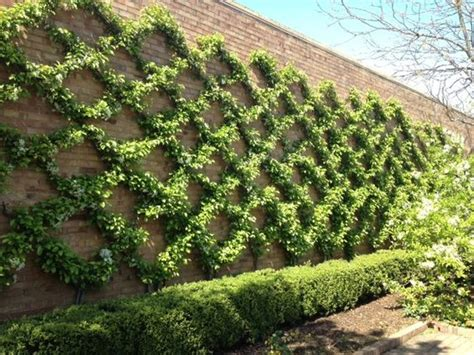 espalier vines would probably take forever to get the plants to resemble this so neatly but espaliers are