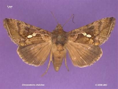 Plusiinae Chrysodeixis Chalcites