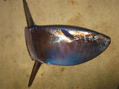 slender sunfish wikipedia