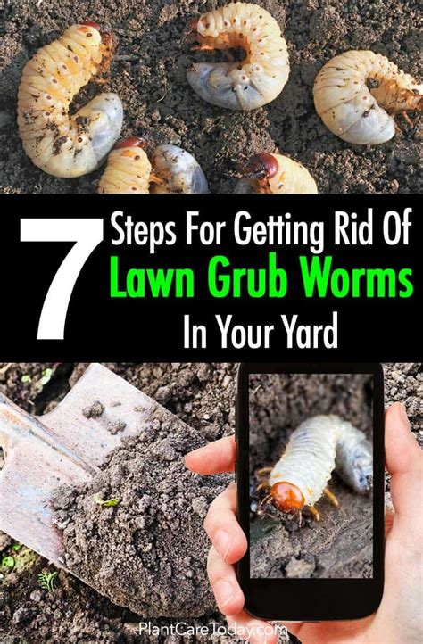 how to kill grubs naturally lawn grubs 7 steps for getting rid grub worms in your yard