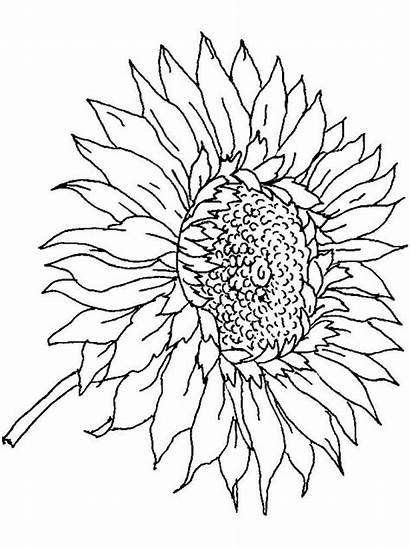 Sunflower Coloring Pages Adults Printable Flower Dementia