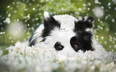 wallpapers border collie puppy dog cute
