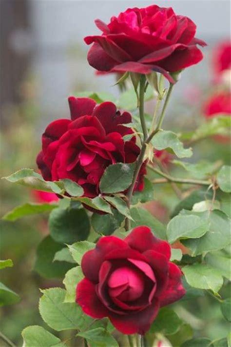 jual mawar duri lapak dream garden dreamgarden
