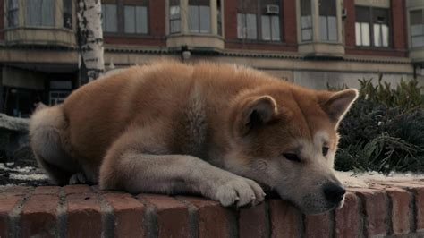 hachi  dogs tale full hd wallpaper  background image