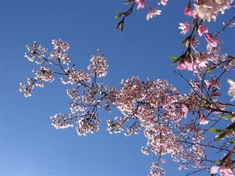crabapple branches crabapple branch by cotystock on deviantart