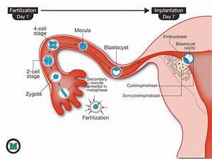 Pregnancy Implantation Calendar