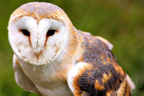 Do Barn Owls Eat Cats by Barn Owl Facts Always Learning