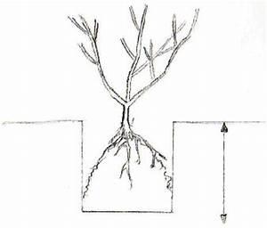 Profondeur Des Racines D Un Figuier : planter en racines nues gamm vert ~ Nature-et-papiers.com Idées de Décoration