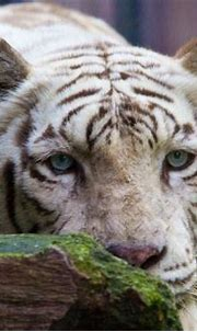 ITAP of a beautiful White Tiger | Year of the tiger, Big ...