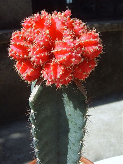 grafted cactus grafted cactus flickr photo sharing