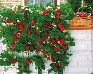 Plant De Fraisier : les 25 meilleures id es concernant fraisier remontant sur ~ Premium-room.com Idées de Décoration
