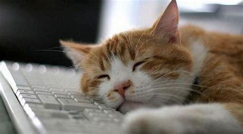 si鑒e pc curiosità perchè i gatti si sdraiano sulla tastiera computer