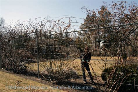 pruning climbing roses winter spring forward blithewold blogs