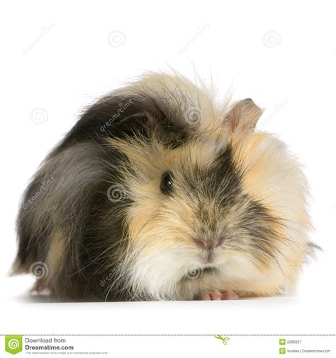 angora guinea pig royalty  stock photography image