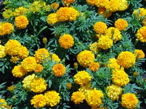 marigolds keep bugs away bedding plants stcflowersale