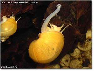 1000  Images About Mystery Snails On Pinterest