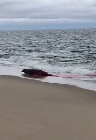 Seal Escapes From Great White Shark's Jaws After Being