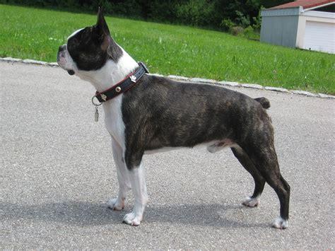 Fileboston Terrier Carlos De  Ee  Jpg Ee    Ee  Wikimedia Ee    Ee  Commons Ee