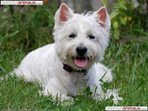 West Highland White Terrier Images 7 Free Hd Wallpaper ...