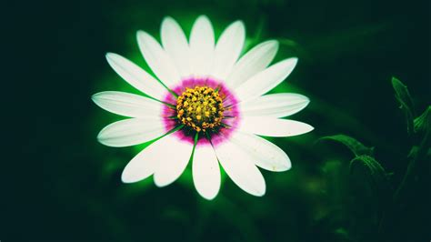 white daisy flower  wallpapers hd wallpapers id