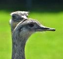 Rhea birds | Rhea bird, Australia, Tourist attraction