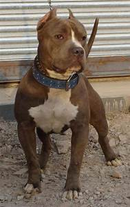 Pitbull Dogs White And Brown With Pitball Dog - Litle Pups