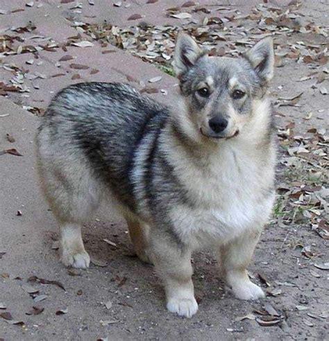 wolf corgi puppy best 25 wolf corgi ideas on pinterest baby corgi funny puppies and adorable animals
