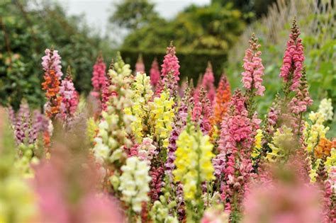 snapdragon flower how to grow and care for snapdragon plants