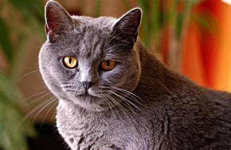 Chartreuxs Cat Breed Personality, History, And Pictures