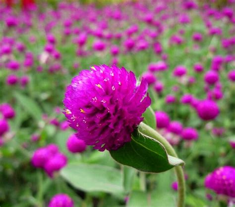 bibit bunga kancing kenop