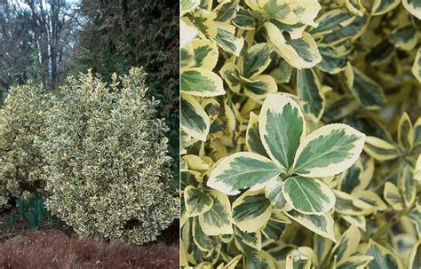 king of plants silver king japanese euonymous oregon state univ landscape plants