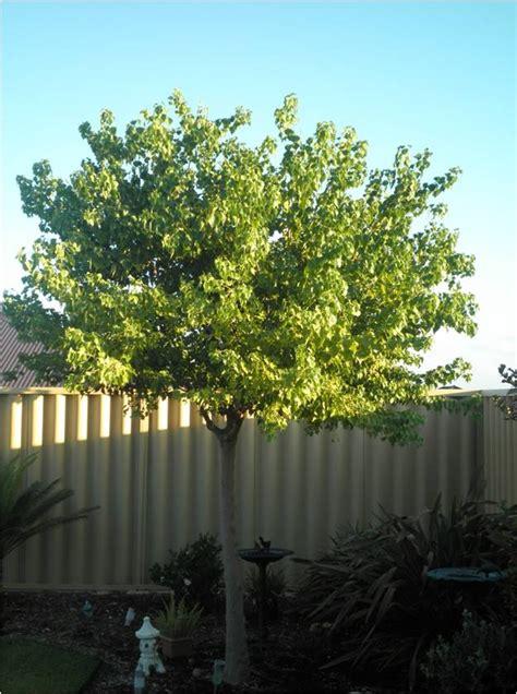 deciduous trees tree nursery western australia