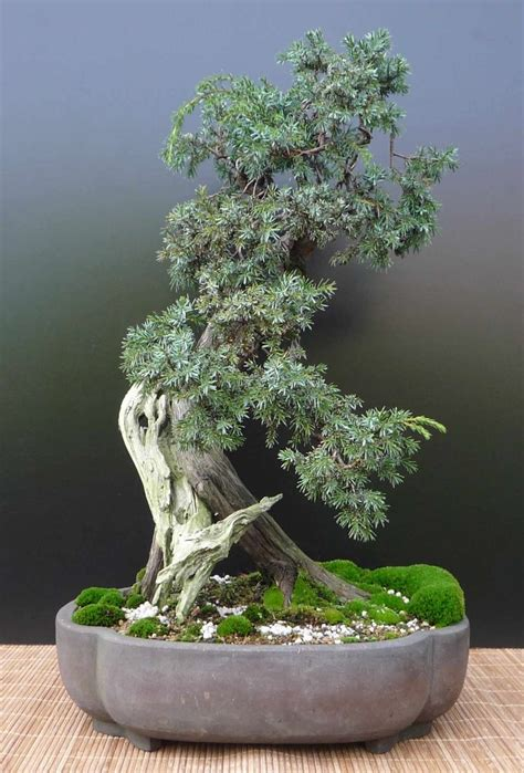 juniperus communis bonsai matsu  bonsai pinterest