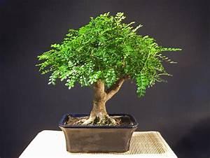 Pflege Bonsai Baum Indoor : bonsai b rse bremen vielfalt der b ume indoor ~ Michelbontemps.com Haus und Dekorationen