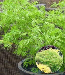 Japanischer Ahorn Im Kübel : japanischer ahorn emerald lace 1a qualit t baldur garten ~ Michelbontemps.com Haus und Dekorationen