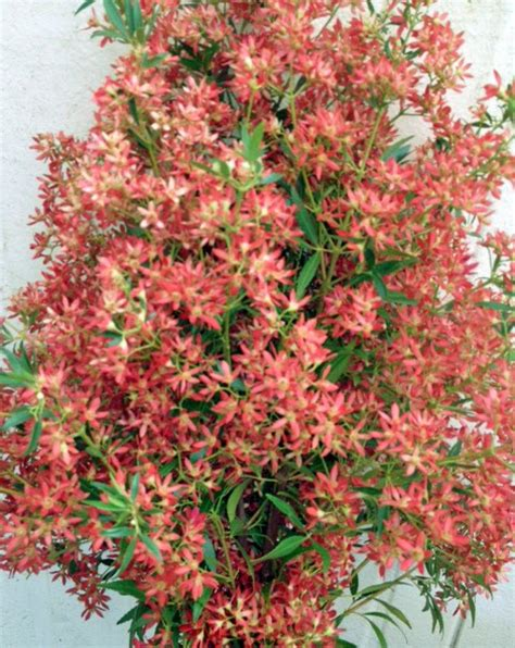a passion for flowers christmas bush