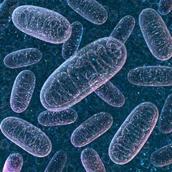 Human Cell Mitochondria
