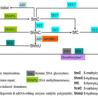 Enzymatic Cycle Diagram by Enzymatic Activity Of Tet Family Proteins Achieving The