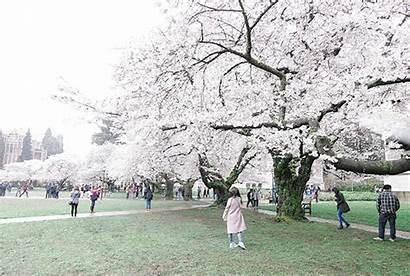 Cherry Blossom Gifs Festival Chilled Windy Uw