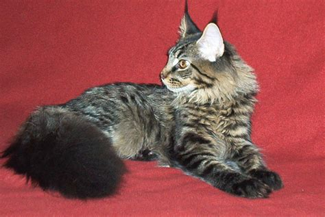 Filemaine  Ee  Cat Ee    Months Old Jpg Wikimedia Commons