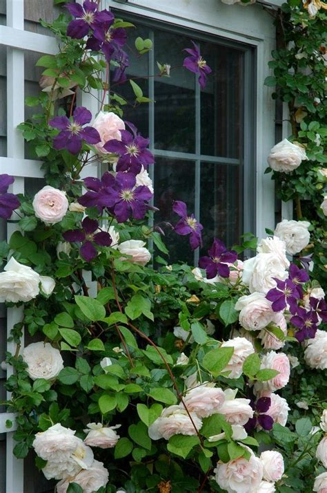 Clematis Trellis by 25 Best Ideas About Clematis On Clematis Vine