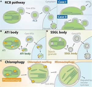 Well Labeled Diagram Of Chloroplast