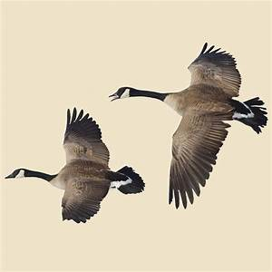 Flying Canada Goose Indoor Wall Graphic, 2 Flying Geese