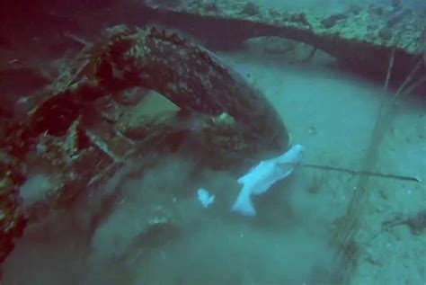 goliath spear grouper catch fisherman massive drags steals geographic national groupers snags upi screenshot