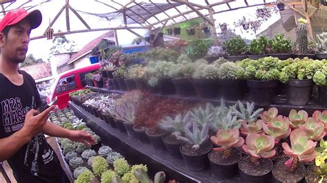 ngintip tanaman hias koleksi kaktus sukulen maribaya