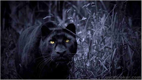 Panther Animal Wallpaper - best of 16 black panther wallpapers high resolution