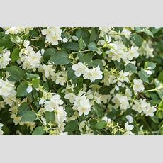 Flowers For Climbing A Trellis (with Pictures) Ehow