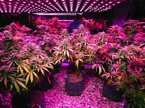 cannabis grow lights hydroponics grow lights electromagnetic food for your