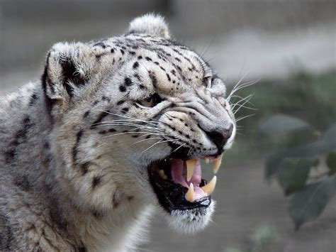 Hd Animal Wallpapers For Mac - mac os x snow leopard wallpaper hd 60 images